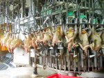 В Новосибирской области производство мяса птицы уменьшилось на 15%