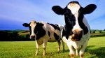 Пензенская область стала лидером ПФО по развитию животноводства