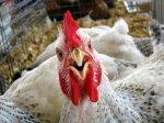 О возможной судьбе карельских птицефабрик рассказали в региональном Минсельхозе