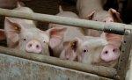 В Тюменской области впервые обнаружена чума свиней