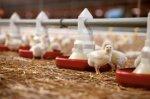 Страны-члены ЕС решили запретить формальдегид в кормах для домашней птицы