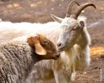 Австралия сможет экспортировать в Россию овец и коз