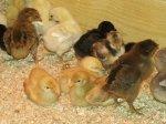 В Турции растет производство птицы