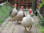 Фермерам посоветовали заниматься нетрадиционным птицеводством