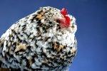 Кластер по производству и переработке мяса птицы создадут в Крыму