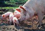 Скотоводству России – отечественную генетику