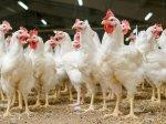 Аграрии Коми на 60% обеспечивают потребность республики в мясе птицы и яйце