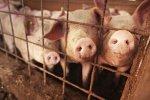 Канада будет жизненно важна для британских животноводов после брексита