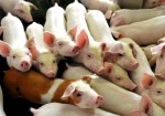 Россия запретила ввоз свинины из Венгрии