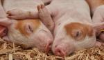 Экспорт свинины из ЕС сократился на 10% относительно прошлого года