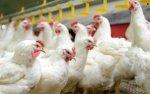 В краткосрочной перспективе сектор птицеводства в ЕС будет расти