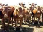 В Минсельхозпроде Подмосковья состоялась встреча экспертной комиссии по племенному животноводству