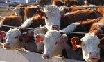 Хакасия отправляет племенной скот на экспорт