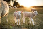 Испания хочет поставлять овец в Азию и на Ближний Восток