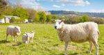 Британские скотоводы могут пострадать из-за Брексита