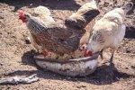 Беларусь ограничивает ввоз птицы из США и КРС из Германии