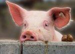 В Россельхознадзоре заявили, что ситуация с африканской чумой свиней в России стабильна