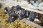 Овцеводческий комплекс «Мираторга» осуществил поставку первой партии ягнятины в 3 970 кг на переработку в январе 2019 г.