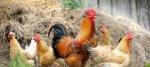 Карелия больше чем на треть сократила производство мяса скота и птицы
